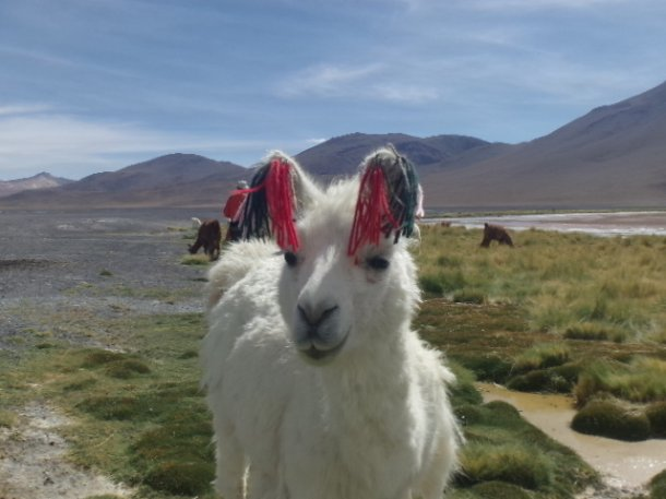 lama bolivie